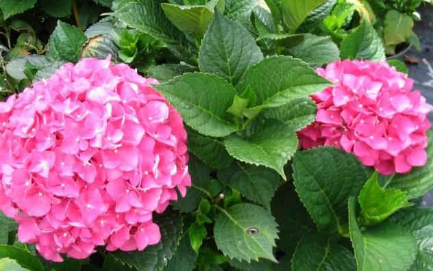 Hortenzija - Hydrangea hortensis