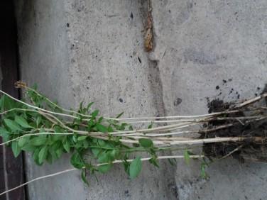 Godzi mlade sadnice