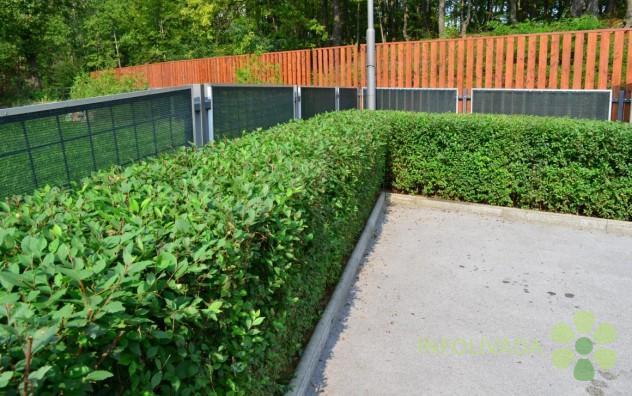 Čudesna živa ograda na AKCIJI!!!