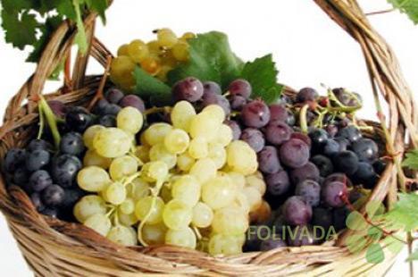 Najveći izbor sorti loznih sadnica. Preko 60 soti vinove loze.