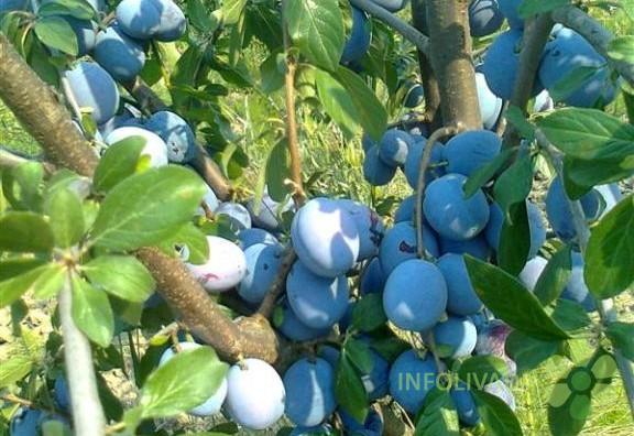 Rezervacija sadnica voća za jesen 2018