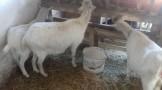 Umaticene Sanske koze
