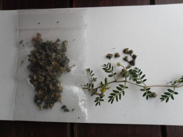 Babin zub (tribulus terrestris) seme