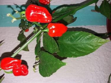 Habanero Chili crveni