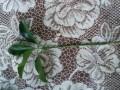 Zeleni evonimus reznice